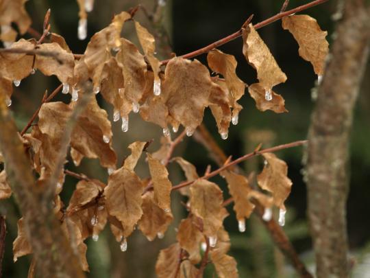 Sople na liściach